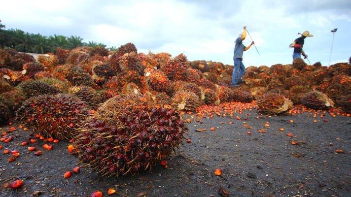 Palmeoljefrukt i Indonesia.